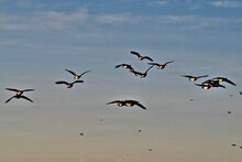 Canada Geese Wintering At South East City Park Public Fishing Lake, Canyon, Texas.