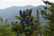 A Pine Cone Cluster On A Young Evergreen At The Summit Of Mt Jo In The Adirondacks Of New York