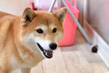 Fototapeta Zwierzęta - 柴犬・笑顔・楽しい