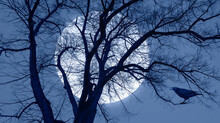 Silhouette Of Crow Illuminated By Full Moon With Dead Tree