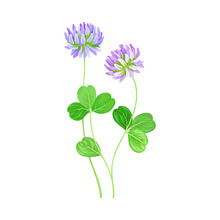 Clover Flower Head On Stem Or Stalk As Meadow Or Field Plant Vector Illustration