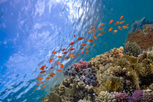 Vibrant And Healthy Coral Reef Ecosystem In The Crystal Clear Waters Of Red Sea
