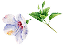 Set Of Hibiscus Flower, Leaf, Buds On Isolated White Background, Watercolor Illustration