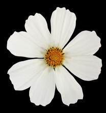 White Garden Cosmos   Flower   Isolated On Black