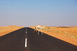 canvas print picture Camel
