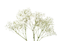 Twigs With Small White Flowers Of Gypsophila (Baby's-breath) Isolated On White Background.  Large Depth Of Field ( DoF).