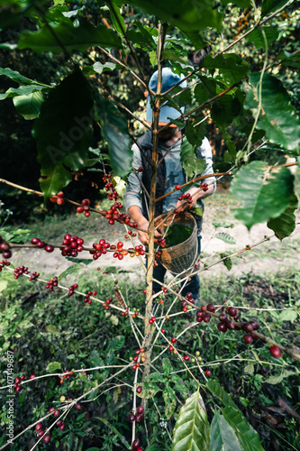 Carta da parati Red ripe arabica coffee under the canopy of trees in the forest,Agriculture hand