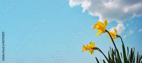 Billede på lærred Narcissus and blue sky. 水仙と青空