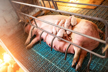 Sow With Young Pigs In A Pig Pen At The Farm