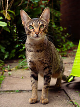 Savannah Cat Portrait.  Cat With Short Spotted Coat Pattern And Bright Green Eyes Explores A Garden