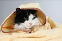 Wet Cat Wrapped With Hooded Towel On Light Grey Background