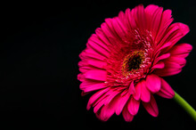 Bright Gerbera Flower On A Black Background