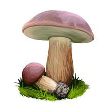 Boletus Badius, Imleria Badia Or Bay Bolete Mushroom Closeup Digital Art Illustration. Edible And Pored Fungus Has Velvety Dark Brown Cap. Mushrooming Season, Plant Growing In Wood And Forest