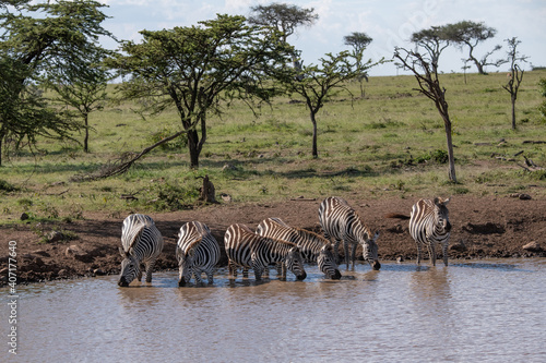 Zebras drinking at a water hole