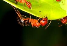 A Florida Carpenter Ant On The Edge Of A Leaf. Camponotus Floridanus.