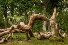 Oak Trees That Look Like Something From A Fairy Tale, Twisted Oak Trunks With A Nice Green Background, Sun Touches In Several Places In The Picture, Mystery And Exciting Atmosphere