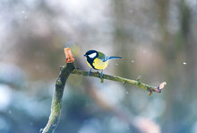Great Tit Resting On A Banch