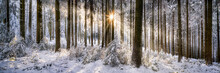 Panoramic View Of A Winter Forest In Sunlight