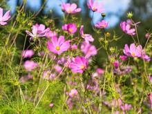 A Group Of Pink Garden Cosmos (Cosmos Bipinnatus) Blooming In A Garden On A Sunny Summer Day, Closeup With Selective Focus