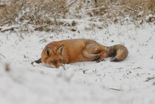 Red Fox In Snowy Weather During A Winterday.