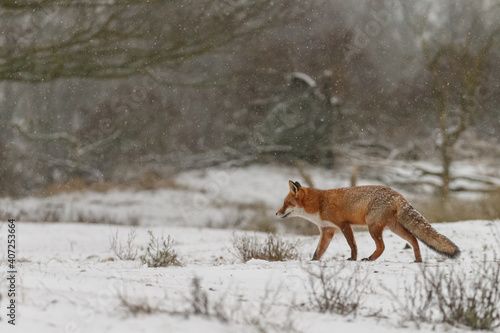 Fototapeta premium Red fox in snowy weather during a winterday.
