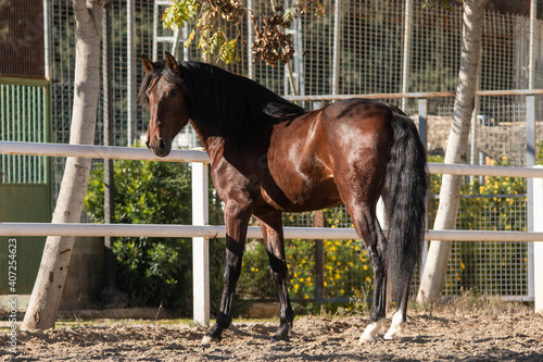 Fototapeta Young of the Lusitano breed standing on the sand obraz