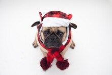 Overhead View Of A Cute Pug Dog Wearing A Red And Black Scarf  Winter Hat