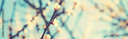 Obraz Blooming apricots tree in the garden. Selective focus. - fototapety do salonu