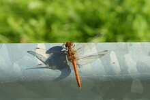 Macro Photography Of Red Dragonfly (sympetrum) Resting