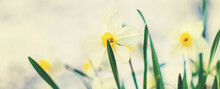 Blooming Daffodils In The Garden. Selective Focus