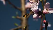 Imagen Horizontal De Una Abeja Llevando Polen Y Volando Hacia Una Cercana Flor Rosa De Un árbol De Melocotones En Floración
