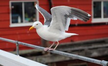 Black Headed Gull Gets Ready To Fly