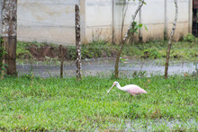 Pink Spoonbill Looking For Food
