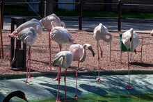 A Shot Of Flamingos Walking In The Water With Green Water In The Background