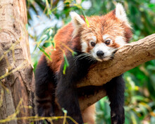 Red Panda In A Tree (lesser Panda), Resting On A Branch With Green Leaves