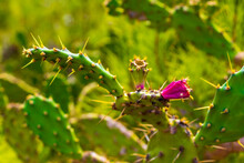 Green Cactus And Red Prickly Pears, Plants In Spain.
