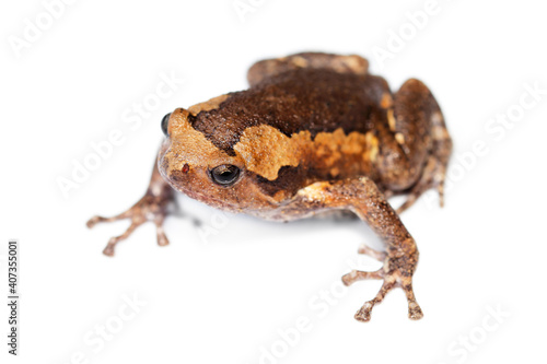 frogs brown live in tropical Thailand landscape, isolated with a white background Wallpaper Mural