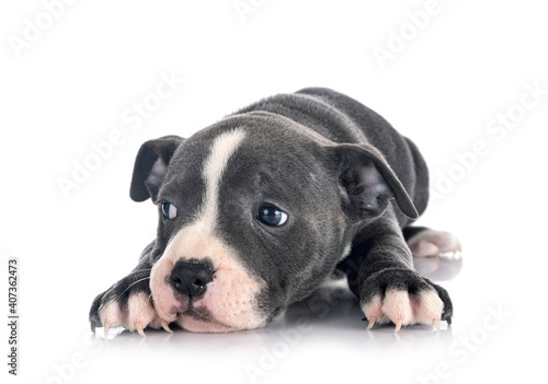 Canvastavla puppy staffordshire bull terrier