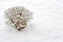 Willow Bush Branches Under Snow, After Heavy Snowfall And Frost. Place For Your Text.