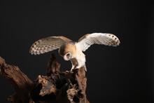 Beautiful Common Barn Owl On Tree Against Black Background