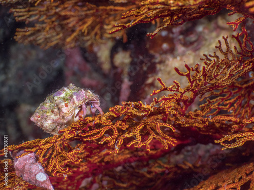 Fotografie, Obraz Tiny hermit crab on red gorgonian seafan (Mergui archipelago, Myanmar)