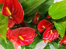 Red Anthurium Flowes ( Tailflower, Flamingo Flower, Laceleaf ) In Flower Shop, Tropical Background