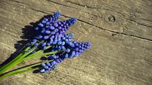 Muscari Flower. Muscari Armeniacum. Grape Hyacinths. Spring Flowers. Muscari Armeniacum Plant With Blue Flowers.