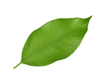 Leaf Ficus Tree Isolated On White Background, Top View