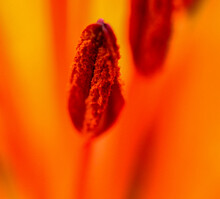 Macro Photo Stamens Of A Lily Flower