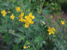 Plant With Yellow Flowers And Green Leaves In The Forest. Chelidonium Majus Or Greater Celandine Or Tetterwort Or Swallowwort Or Nipplewort Yellow Wild Bloom. Medicinal Plant.