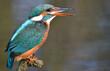 Eisvogel beim Fischfang