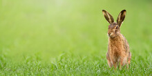 Wild Brown Hare, Lepus Europaeus, Sitting On A Meadow With Green Grass In Spring With Copy Space. Alert Animal Wildlife In Panoramic Wide Horizontal Composition. Mammal With Long Ears In Nature.
