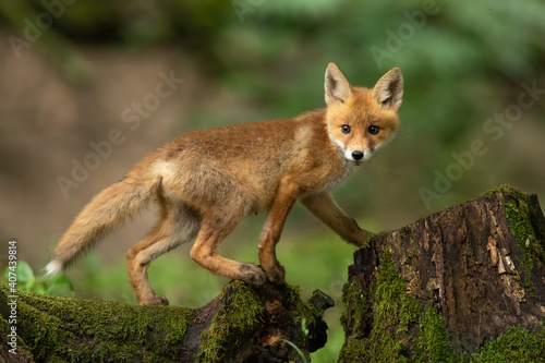 Fototapeta premium Young red fox, vulpes vulpes, walking on trunk in springtime nature. Little baby animal climbing on stump in forest. Orange cub looking from tree in woodland.