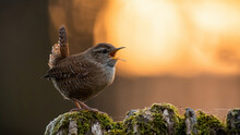 Eurasian Wren, Troglodytes Troglodyte, With Open Beak On A Mossy Tree With Orange Sun In Background. Small Bird With Brown Feathers Woodpecker Perched In Spring Forest With Copy Space.